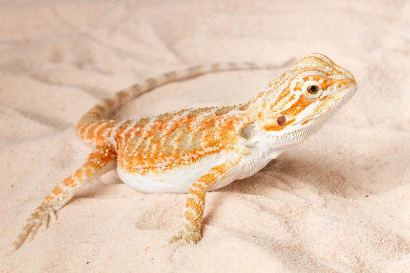 Bearded Dragon (Pogona sp.) on sand
