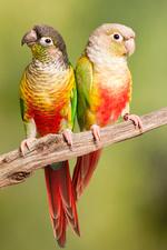 Green-cheeked conure and Pineapple Conure