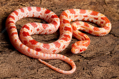 Corn Snake (P. guttatus) on tree bark