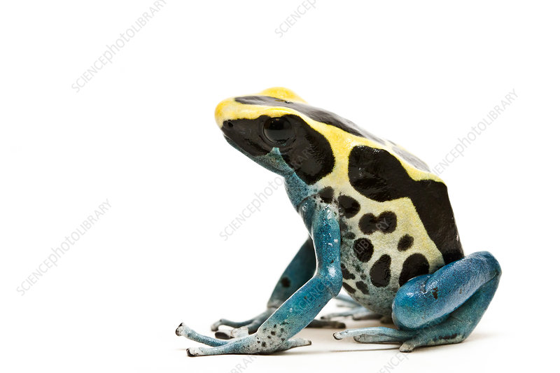 Dyeing poison dart frog