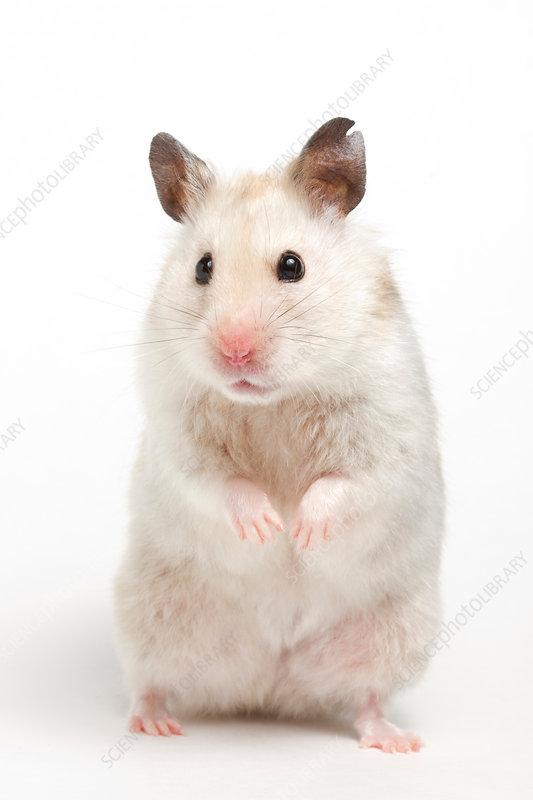 Syrian Hamster (Mesocricetus auratus)