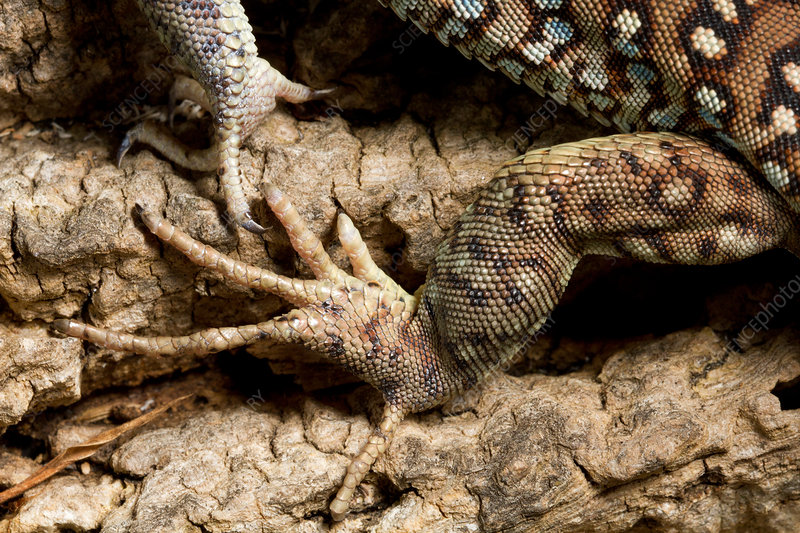 Ocellated Lizard (Timon lepidus) foot detail