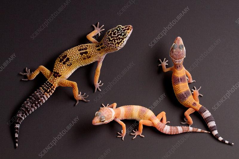 Leopard Gecko (E. macularius) collection