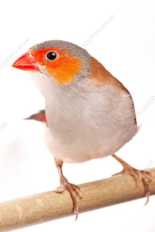 Orange-cheeked waxbill (Estrilda melpoda)