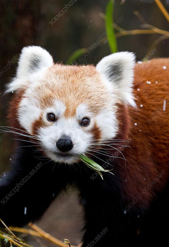 Red Panda ( Ailurus fulgens) eating