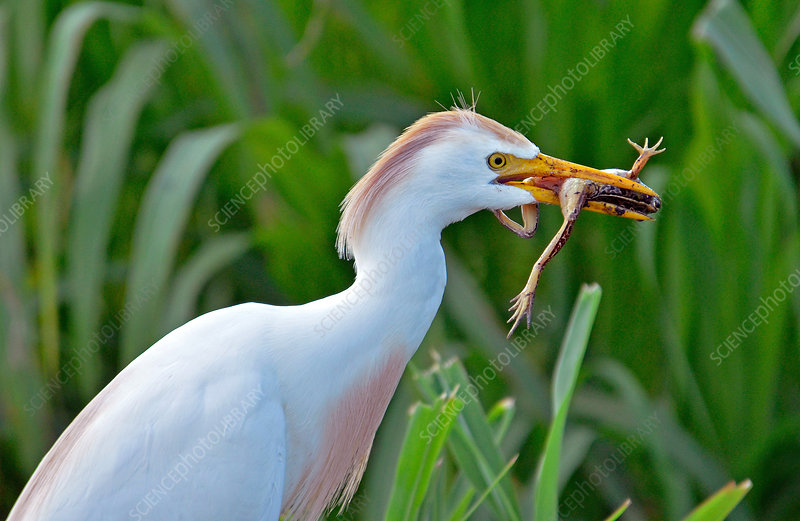 Cattle Egret (Bubulcus ibis) eats frog
