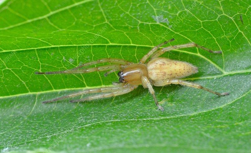 Garden Ghost Spider