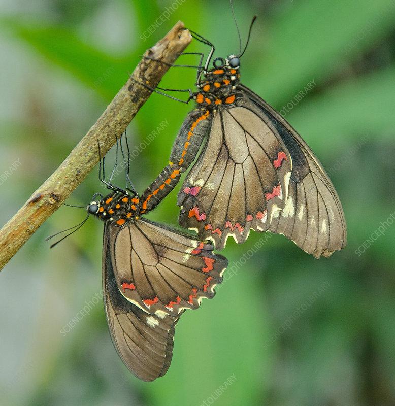 Polydamas Swallowtails mating