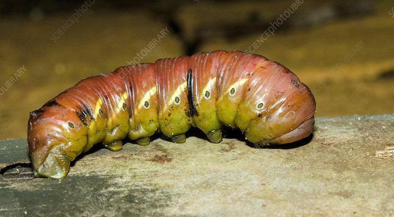 Banded Sphinx caterpillar