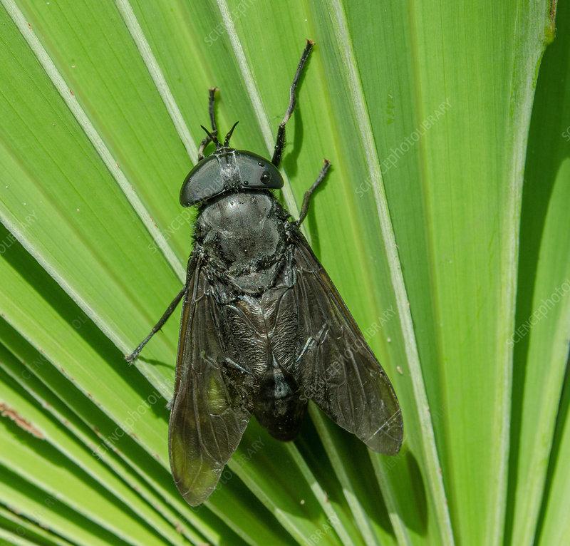 Black Horsefly