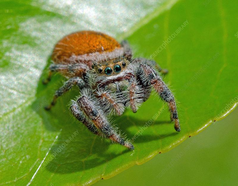 Brilliant Jumping Spider