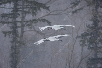 Red-Crowned Cranes in Snowstorm, Japan