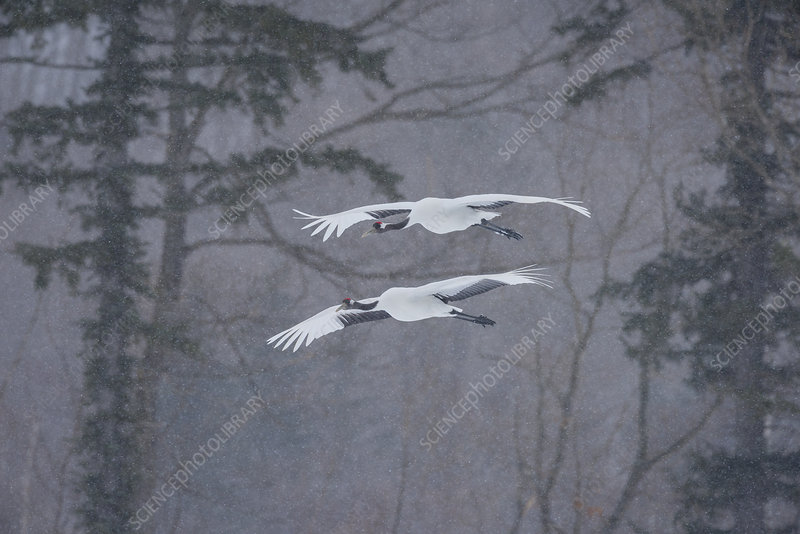 Red-Crowned Cranes in Snowstorm, Japan