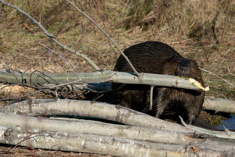 Beaver with Aspen Tree