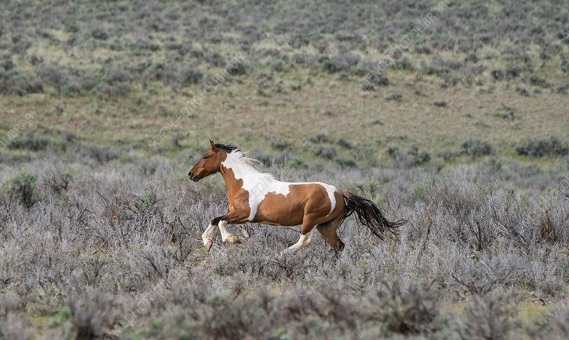 Pinto Horse, Colorado