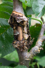 Canker infection of an apple tree