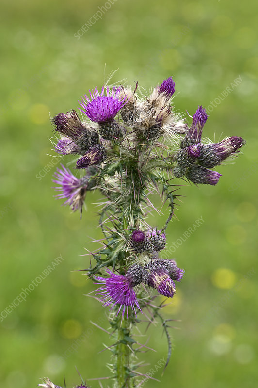 Marsh Thistle Flowers