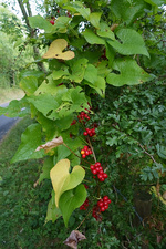 Black Bryony Fruit