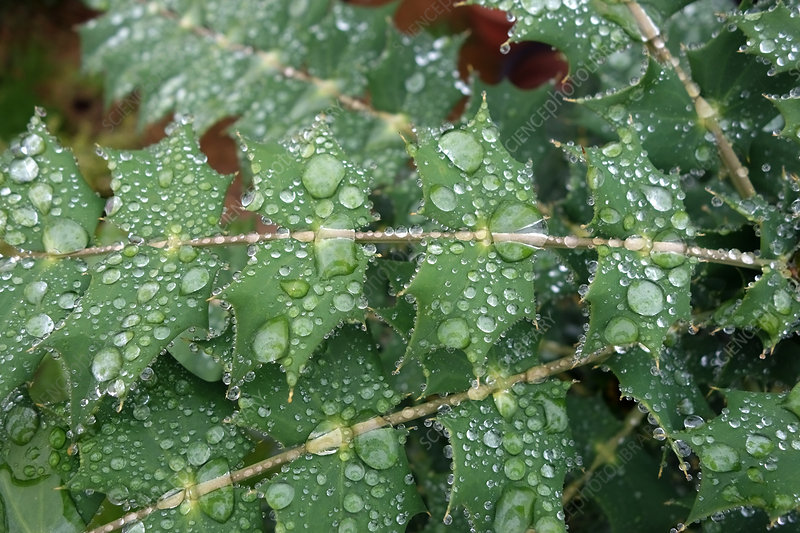 Droplets on Mahonia Leaves