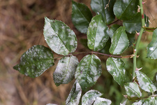 Powdery Mildew on Rose