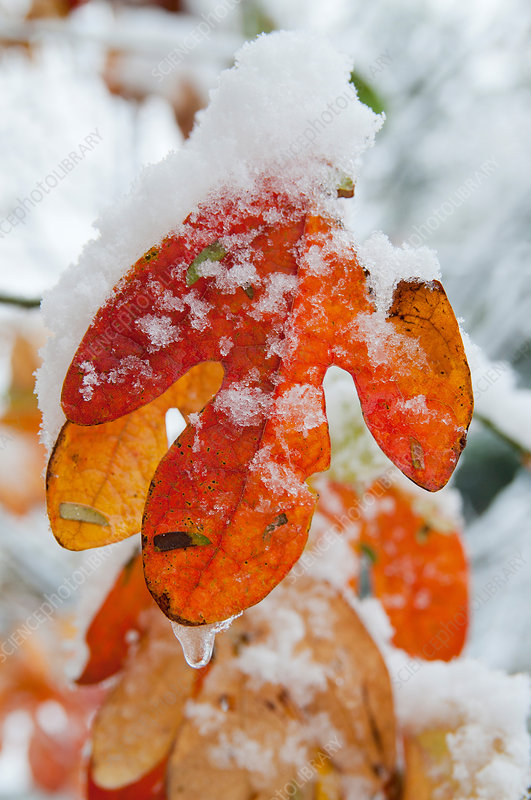 Sassafras Leaf with Snow