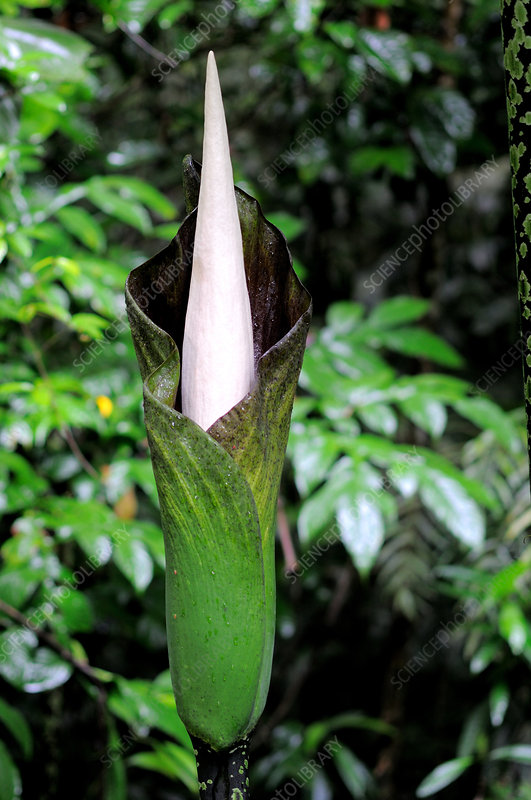 Amorphophallus Flower Sequence