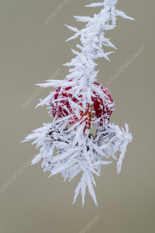 Hoarfrost on Rose Hips, Oregon, USA