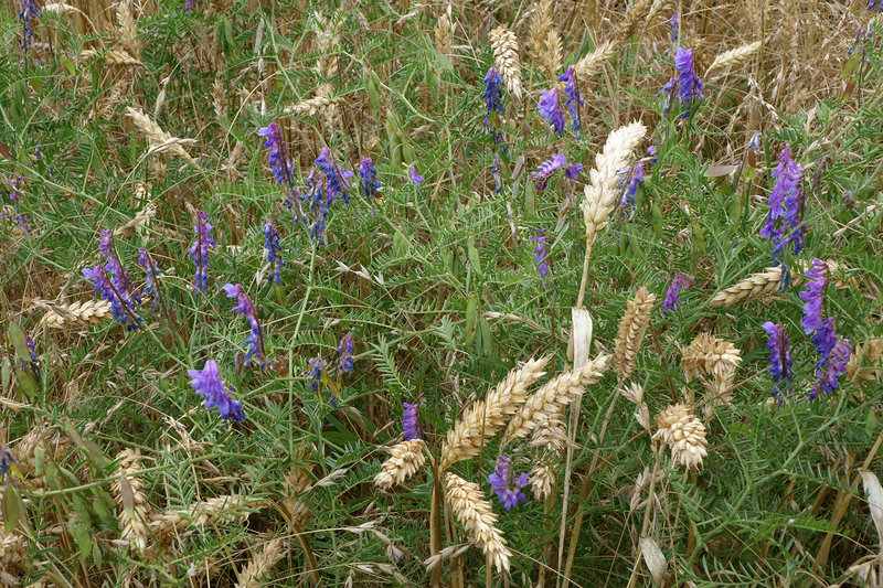 Tufted Vetch in Wheat