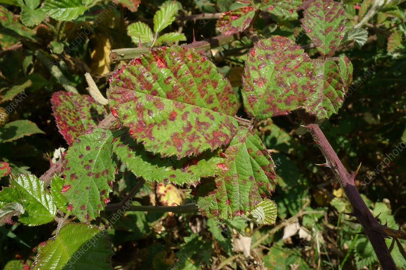 Blackberry Rust Lesions