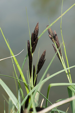 Common or Black Sedge