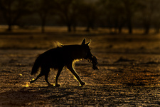 Backlit Brown Hyena with carcass remains