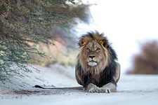 Black-maned Male African Lion