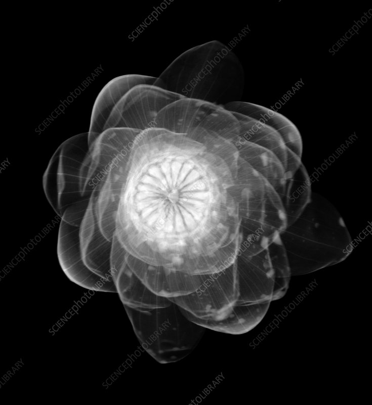 Water lily flower, X-ray