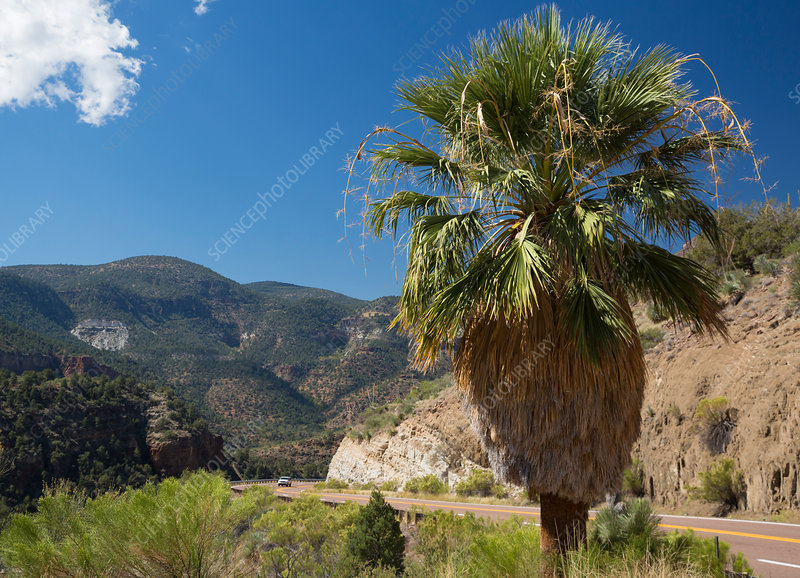 Palm tree beside road, Salt River Canyon, USA