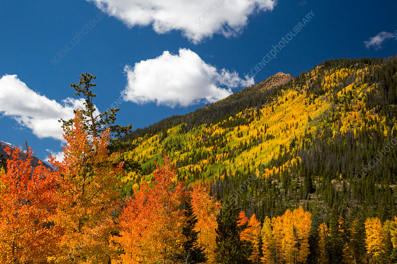 Autumnal aspen trees, Rocky Mountains, USA