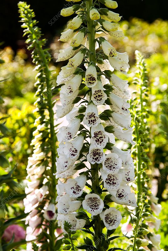 Foxglove (Digitalis purpurea 'Pam's Choice')