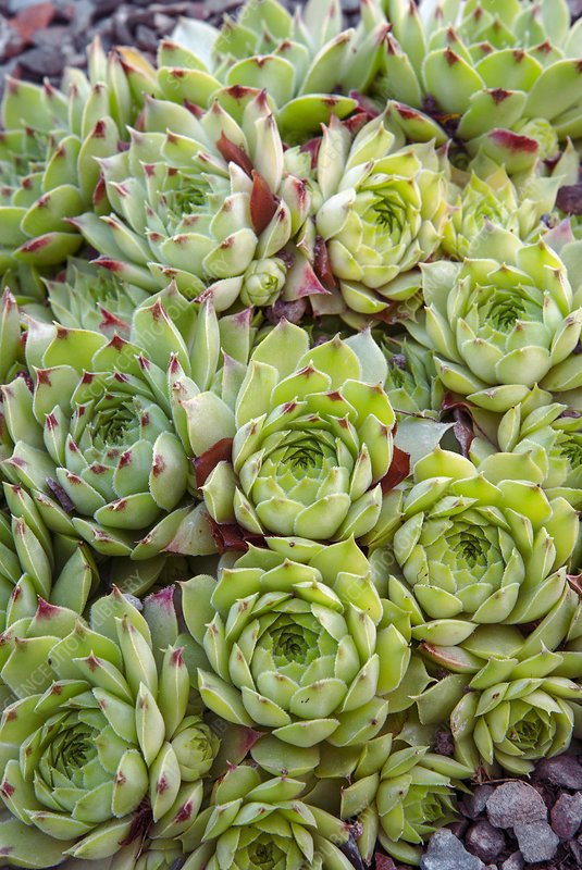 Houseleek (Sempervivum 'Tip Top')