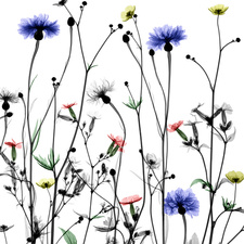 Wildflowers, X-ray
