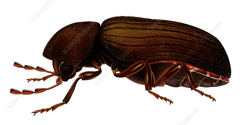 Drugstore beetle, illustration