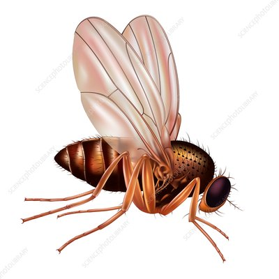 Fruit fly, illustration