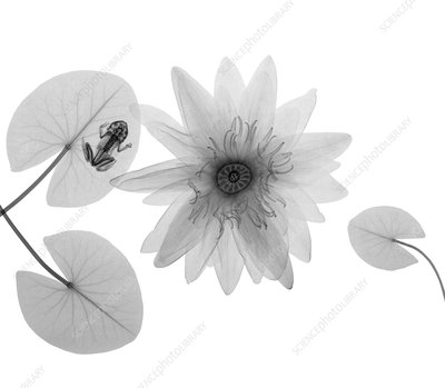 Frog and water lily, X-ray