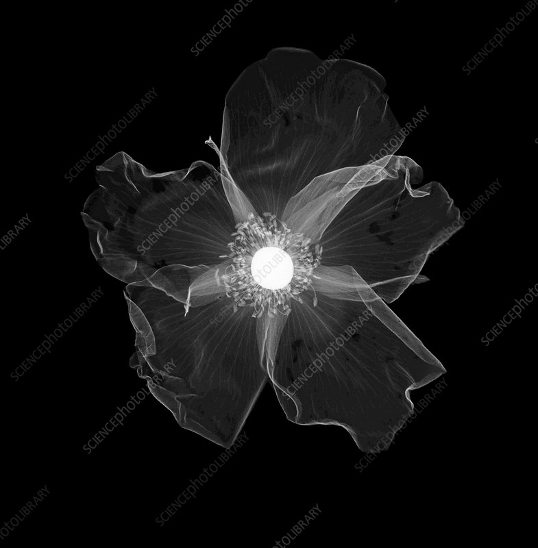 Rose flower, X-ray