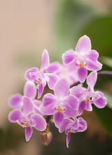 Moth orchid (Phalaenopsis silbergrube equestris x celebensis