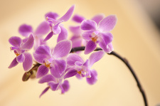Phalaenopsis silbergrube (equestris x celebensis) orchid