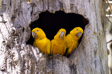 Golden parakeets in a tree hollow