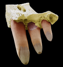 Reptile jaw fossil, SEM