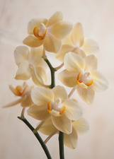 Phalaenopsis Gold Tris orchid flowers
