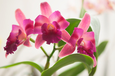 Potinara Dancing Beauty orchid flowers