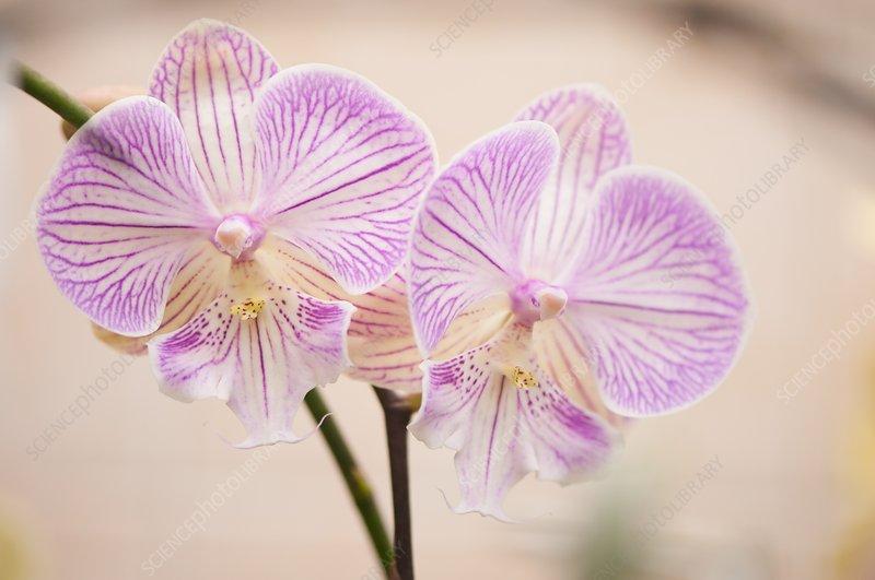 Phalaenopsis Tying Shin Golden Staff x Fureshing Acclaim