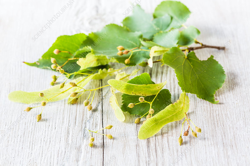 Linden tree leaves and flowers